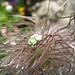 Einen Goldstaub-Laubkäfer (Hoplia farinosa) ...