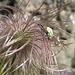 ... tanzend auf dem Fruchtstand einer Alpen-Küchenschelle, auch Alpen-Kuhschelle oder Alpen-Osterglocke genannt (Pulsatilla alpina)