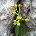 Fruchtstand mit Kapselblüten einer Alpenaurikel<br />(Primula auricula)