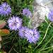 Kugel-Blumen (Globularia Cordifolia)