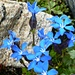 Auf dem Weg zum Piz Grialetsch - Bayrischer Enzian (Gentiana bavarica)