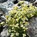 Auf dem Weg zum Piz Grialetsch - Mannsschild-Steinbrech (Saxifraga androsacea)