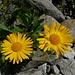 Doronico dei macereti (Doronicum grandiflorum). Grazie laponia41