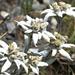 Edelweisse - heute in verschwenderischer Fülle angetroffen
