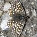 Hübscher Schmetterling am Wegesrand