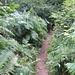 meterhohe Farne säumen den Pfad durch den Wald