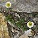 Ranunculus glacialis L.<br />Ranunculaceae<br /><br />Ranuncolo glaciale<br />Renoncule des glaciers <br />Gletscher-Hahnenfuss <br />