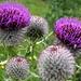 Herrliche Disteln - in Blüte und schon verblüht...