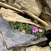 hübsches Blümchen im Fels