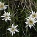 (Fast) keine Bergwanderung im Unterengadin ohne Edelweisse - in der Fora da l'Aua trifft man sie immer im August an
