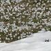Blühende Krokusse zwischen letzten Schneeresten