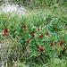 """<b>Daphne mezereum</b>. Il nome della specie, """"mezereum"""", deriva da una radice araba e significa """"mortale"""". La piante è molto velenosa."""