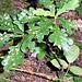 junge Eiche mit gefleckten Blättern
