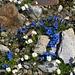 Die Schutthalden waren von Alpenblumen übersät