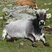 Elle est bien fière ! : vache et sa bouse .