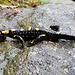 Ein feuriger Salamander.