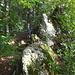 nach dem Baum geht es sofort wieder rechts auf die Felsen - die werden hier als Wegstrecke so oft eingbaut wie möglich