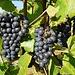 Gute Gelegenheit zum Probieren diverser Traubensorten