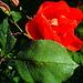 eine letzte blühende Rose?
