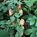 Humulus lupulus L.  Cannabaceae  Luppolo comune Houblon  Hopfen