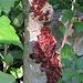 Pyrrhocoris apterus Pyrrhocoridae  Cimice rossa, Cimice carabiniere Gendarme Gemeine Feuerwanze