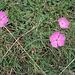 Dianthus carthusianorum L. <br />Caryophillaceae<br /><br />Garofano dei Certosini<br />Oeillet des Chartreux <br />Kartäuser-Nelke <br />