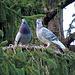 Tauben von einem Taubenzüchter.
