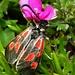 Ein Sechsfleckwidderchen. Kein anderer Schmetterling lässt sich so leicht fotografieren und sich durch die Anwesenheit des Menschen nicht stören