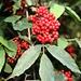 Roter Holunder (Sambucus racemosa).<br /><br />Die Früchte essbar wenn man den Samen entfernt, da dieser eine geringe Menge an giftigem Chelerythrin enthält.