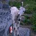 Die erste Ziege hat uns und unsere Rucksäcke gefunden...