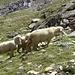 Genügsame und friedliebende Tiere; dazu noch bergfest ganz ohne Lowa, Hanwag oder Asolo...