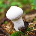 Flaschenbovist (Lycoperdon perlatum)