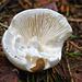 Weisser Knollenblätterpilz: immer rein weisse Lamellen. Ähnlichkeit mit Champignons und anderen weissen Pilzen!