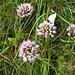 Lägernflora: Berg-Lauch [Allium lusitanicum] mit Besucher.