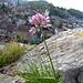 Lägernflora: Berg-Lauch [Allium lusitanicum] mit Blick auf die Altstadt von Baden.