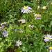 Lägernflora: Blauviolette Berg-Aster [Aster amellus], 400m von der Altstadt Baden entfernt am Schartenfels.
