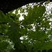 Lägernflora: Flaumeichenblätter [Quercus pubescens].