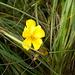 Lägernflora: Gemeines Sonnenröschen [Helianthemum ssp. nummularium ].