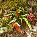 Lägernflora: Braunstieliger Streifenfarn [Asplenium trichomanes].