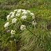 Lägernflora: Hirschwurz [Peucedanum cervaria].
