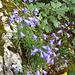 Lägernflora: Rundblättrige Glockenblume [Campanula rotundifolia].