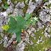 Lägernflora: Schwalbenwurz [Vincetoxicum hirundaria].
