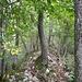 Lägernflora: Die Flaumeichen wachsen oft mitten im Grat.