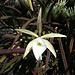 Orchidée dans la paroi du Morro da Babilonia