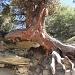 Lustiger Baum am Weg zur Täschalp