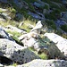 Marmotta pigra