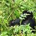 les gorilles des montagnes du Rwanda