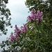 que de belles fleurs...bien jolies... mais garde à ceux qui vont trop près de ces belles plantes. Ce sont les fleurs des chardons géants africains...