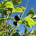 a tasteful bilberry