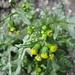 Gemeines Greiskraut (Senecio vulgaris)